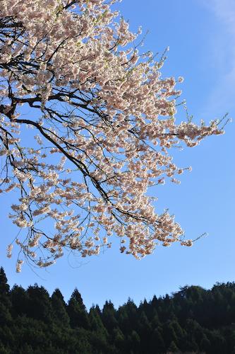 醍醐桜_5896[1]