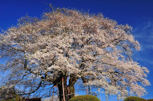 醍醐桜_5914[1]