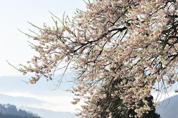 醍醐桜_5869[1]