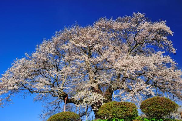 醍醐桜_5929[1]