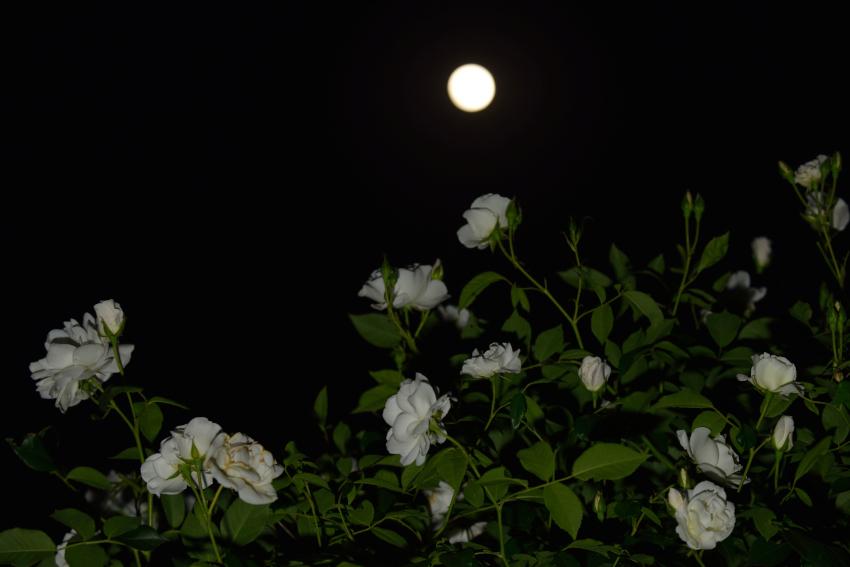 月とバラ_8100[1]