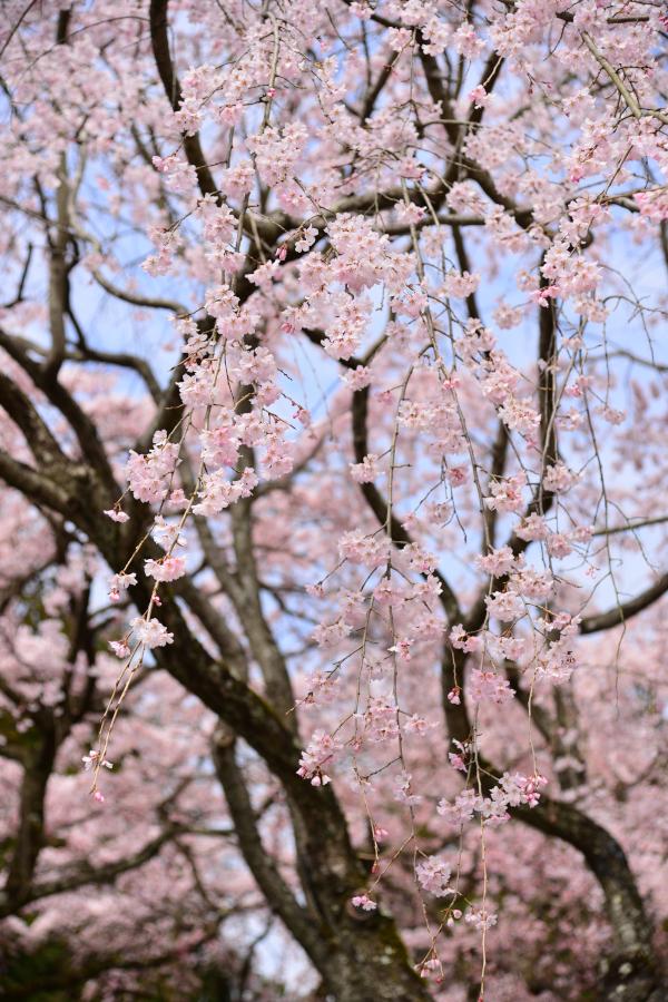 daigoji_20140329_004[1]