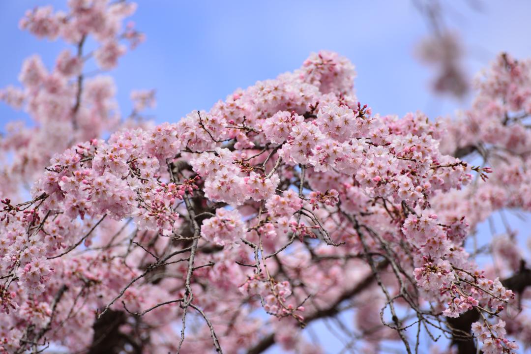 daigoji_20140329_005[1]