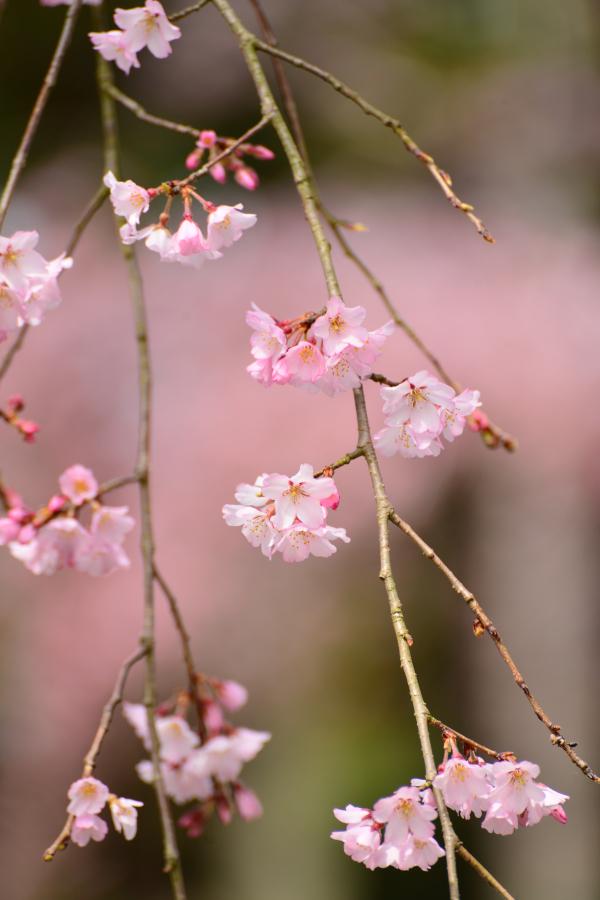daigoji_20140329_006[1]