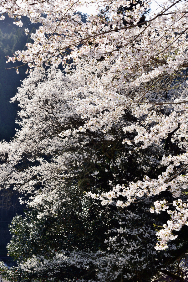sakuramotoji_0089[1]
